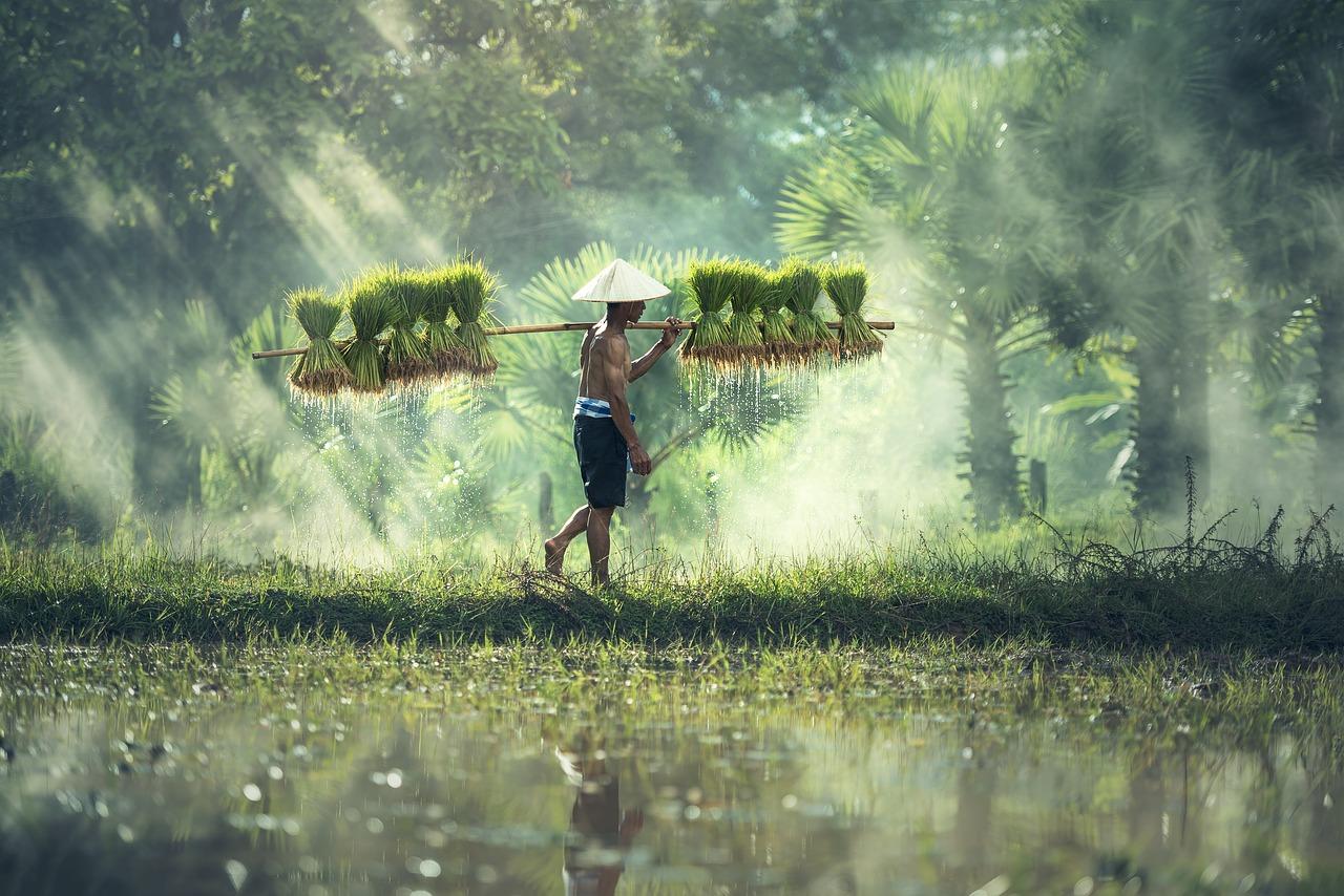 Scientists Explore Wild Rice Varieties For Useful Genes Research Stash